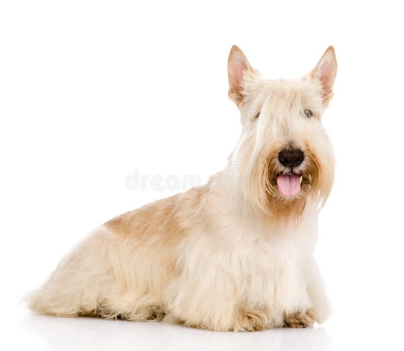 Skotte Terrier som isoleras på vit bakgrund arkivbilder