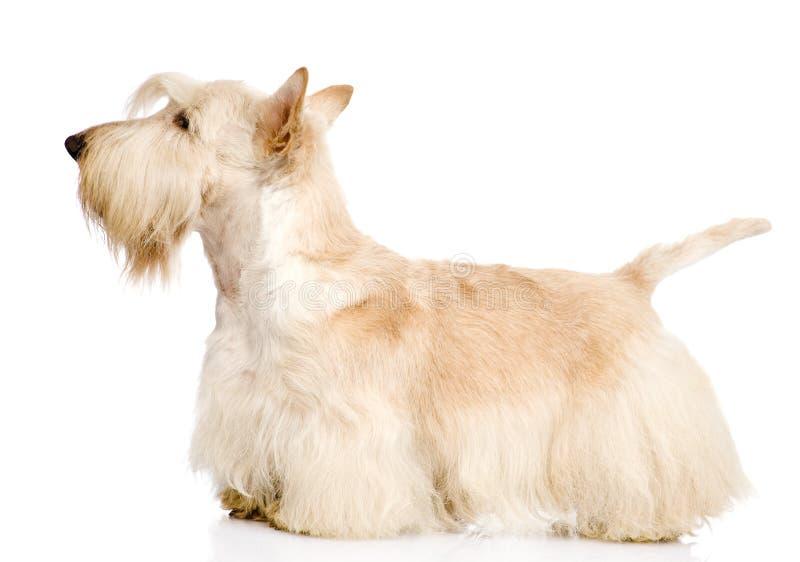 Skotte Terrier som isoleras på vit bakgrund royaltyfria bilder