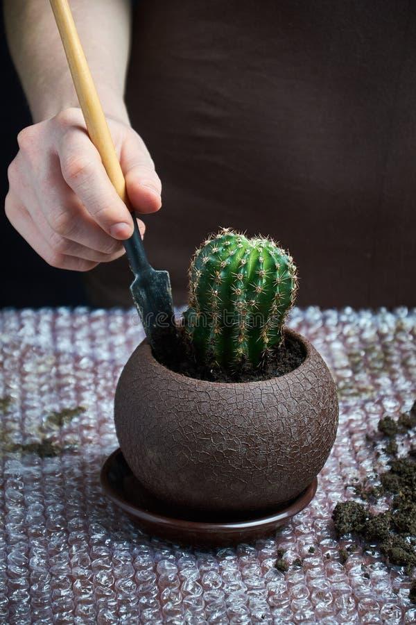 Skottet av den unga kvinnan som rymmer en kaktus, lade in växten i växthus Härlig trädgårdsmästare som rymmer en inlagd kaktus på arkivbilder