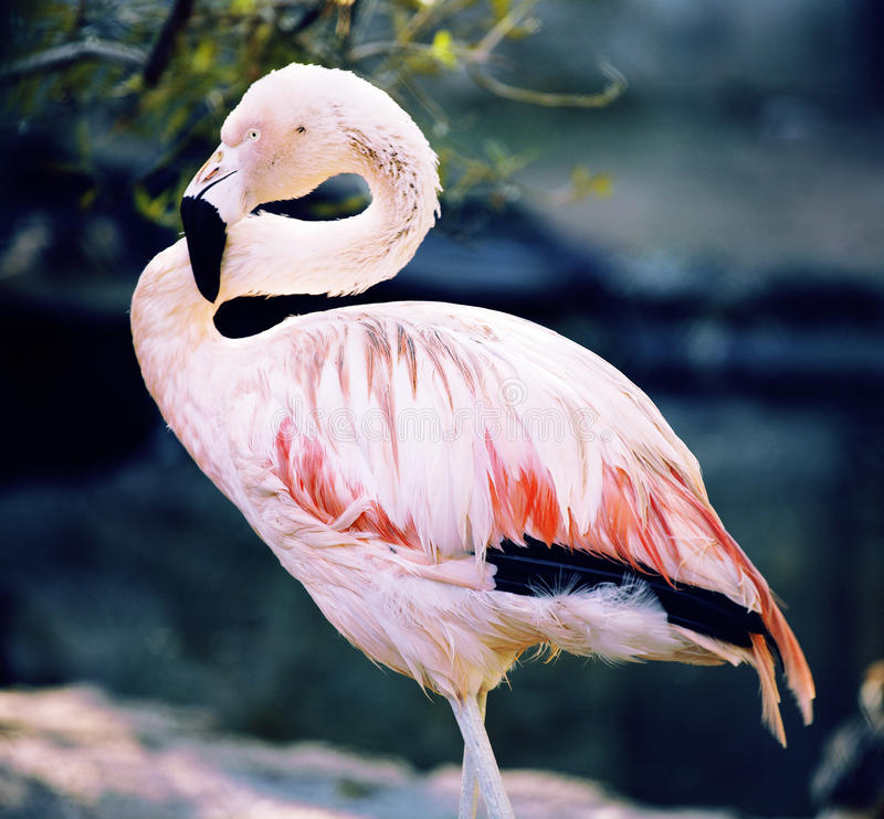 Skottet av flamingoanseendet på dammet Skjutit taget på zoo arkivfoton