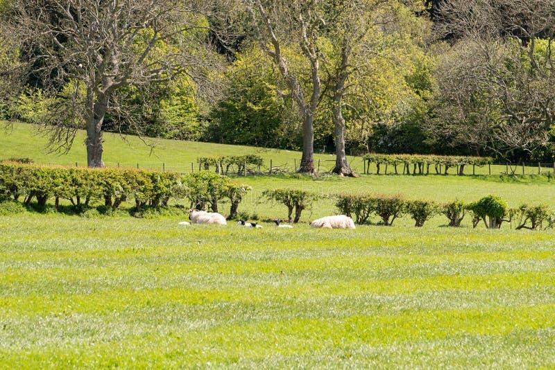 Skottland Ayrshirejordbruksmarker med nyfödda lamm för Treelined häckar som vilar i solskenet arkivbilder