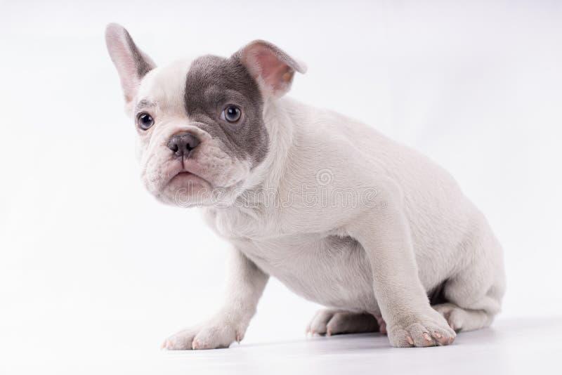 Skrämd hundfrenchie som väntar på någon isolerad, grå och vit hud royaltyfri fotografi
