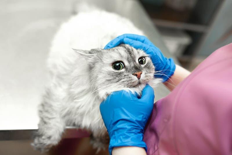Skrämd katt på mottagandet av en gullig flickadoktor på veterinären i den veterinär- kliniken arkivbild