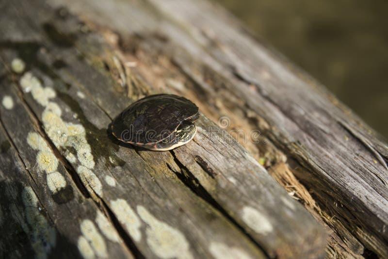 Skrämd sköldpadda vid en sjö royaltyfri fotografi