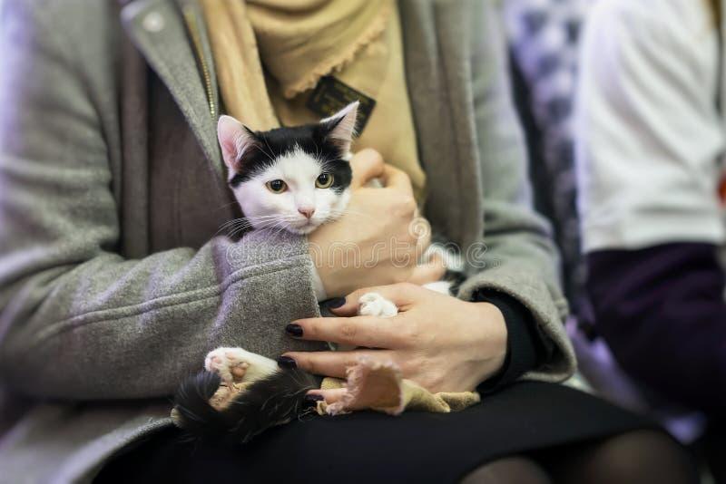 Skrämd svartvit kattunge i händer av flickavolontären, i skyddet för hemlösa djur Flickan tar katten till henne royaltyfri foto