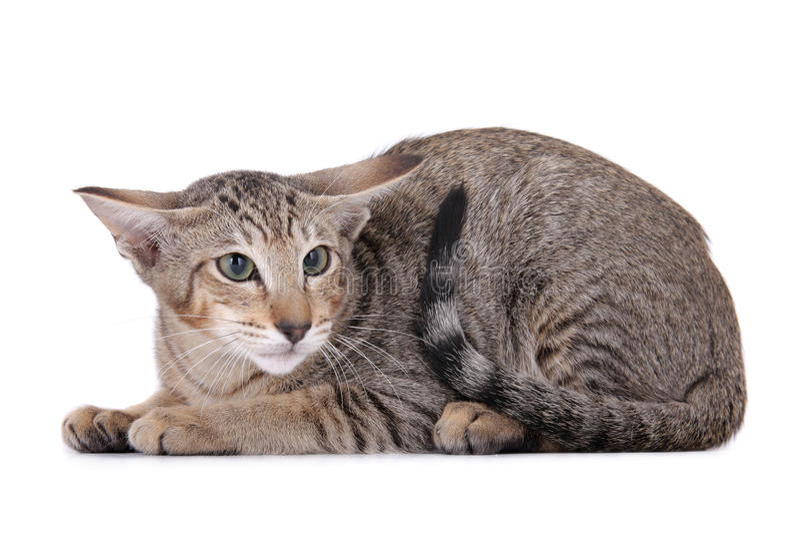 skrämmd katt arkivfoto
