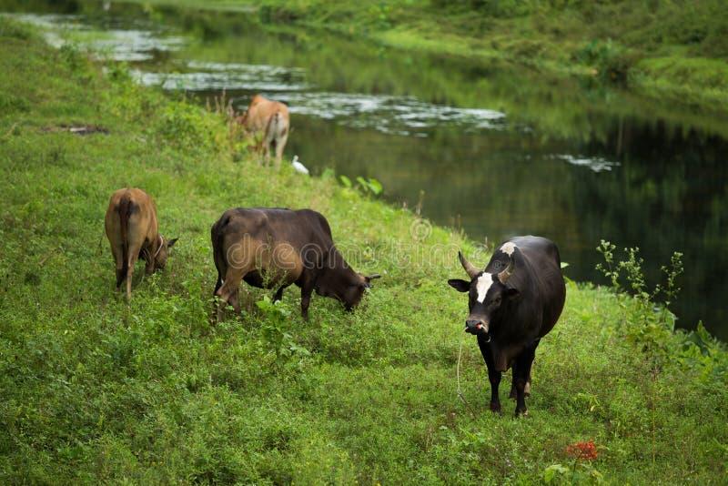 Skrämmer bygd för floden för grönt gräs för nötkreatur royaltyfria bilder