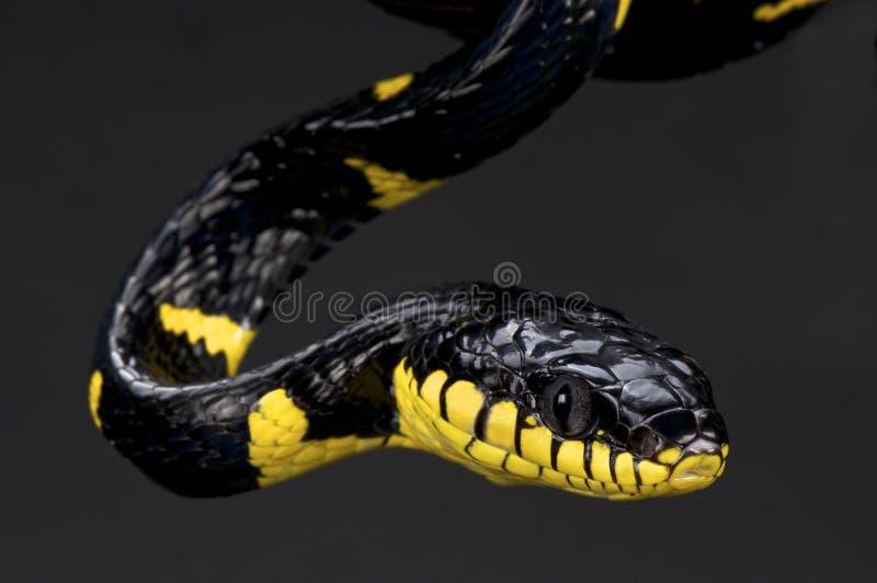 Skrót skrzyknący namorzynowy wąż (Boiga dendrophila melanota) zdjęcia stock