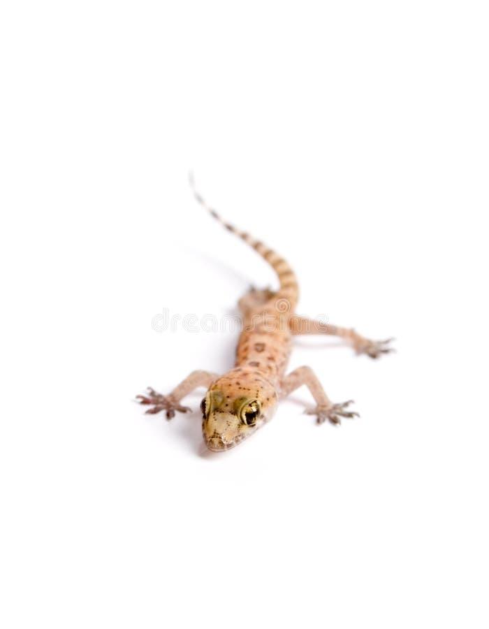 Skraj Gecko Fotografering för Bildbyråer