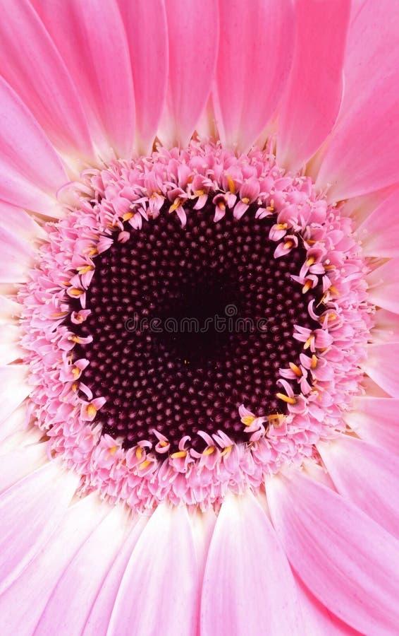 skrajne gerbera różowy makro obraz royalty free