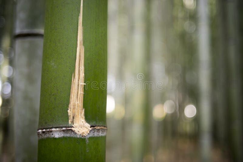 Skrapa på bambu royaltyfri foto