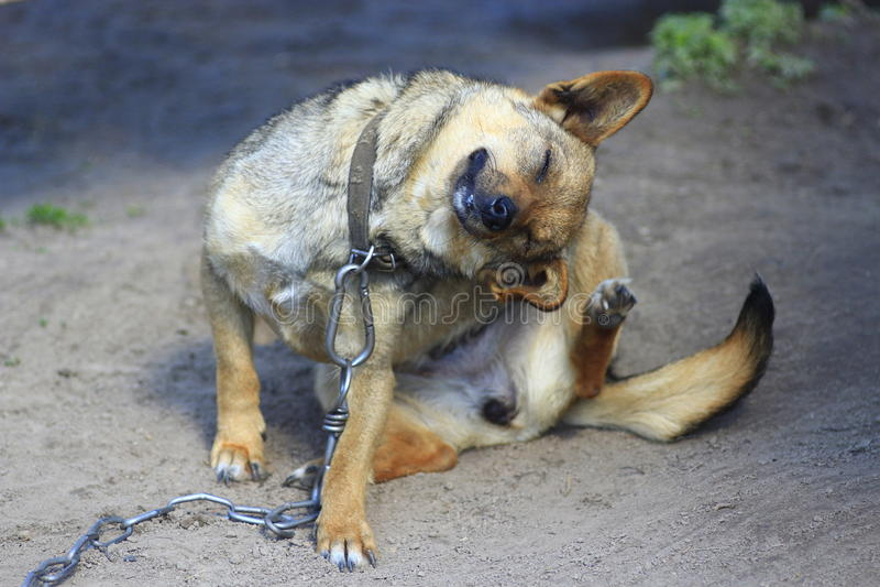 Skrapa sig lantlig hund royaltyfria foton