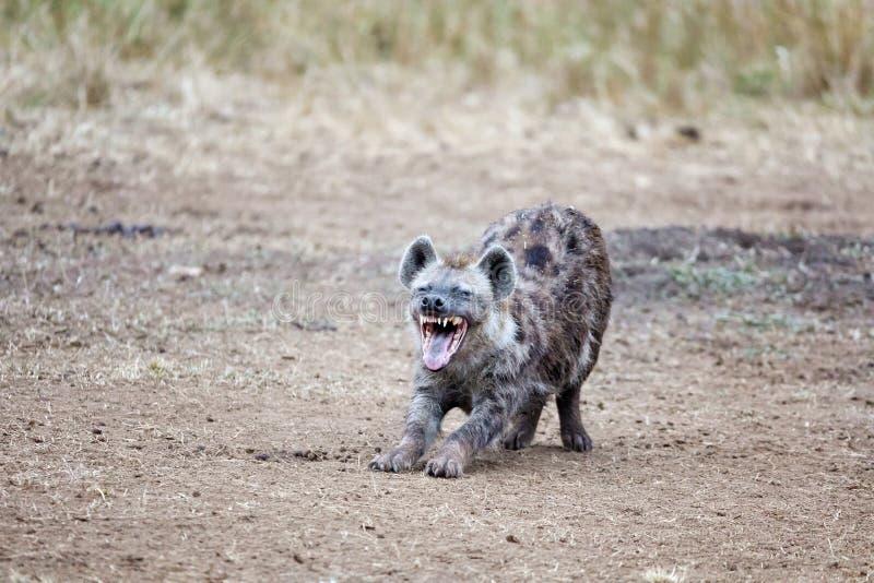 skratta för hyena royaltyfri foto
