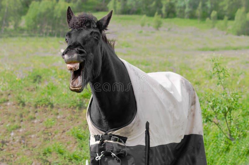 Skratta häst fotografering för bildbyråer