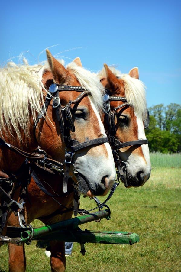 Skratta hästen royaltyfria bilder