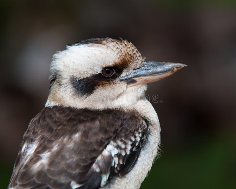 skratta profil för kookaburra royaltyfria foton