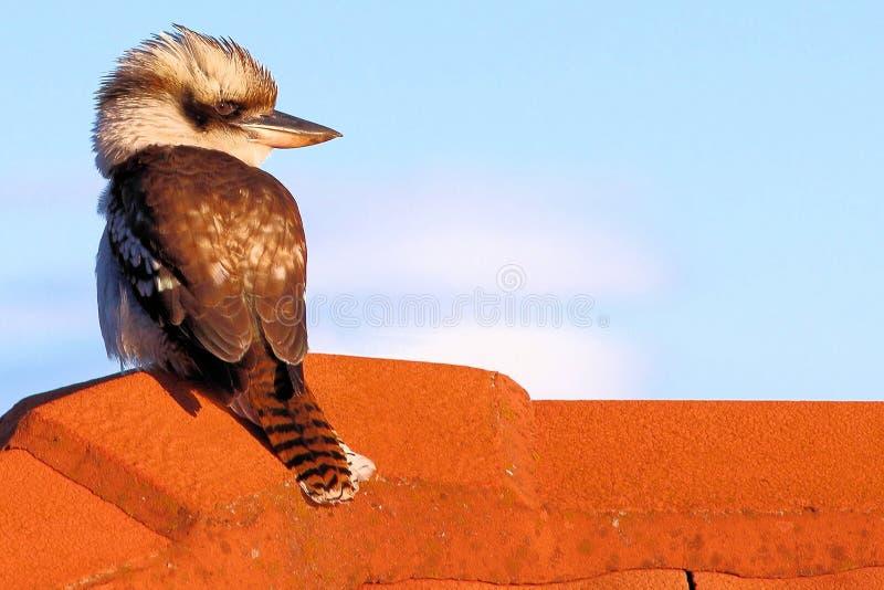 Skrattfågel på ett tak arkivbild