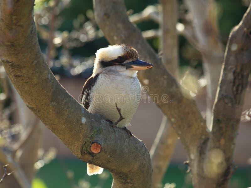 Skrattfågelfågel i skalligt träd royaltyfri foto