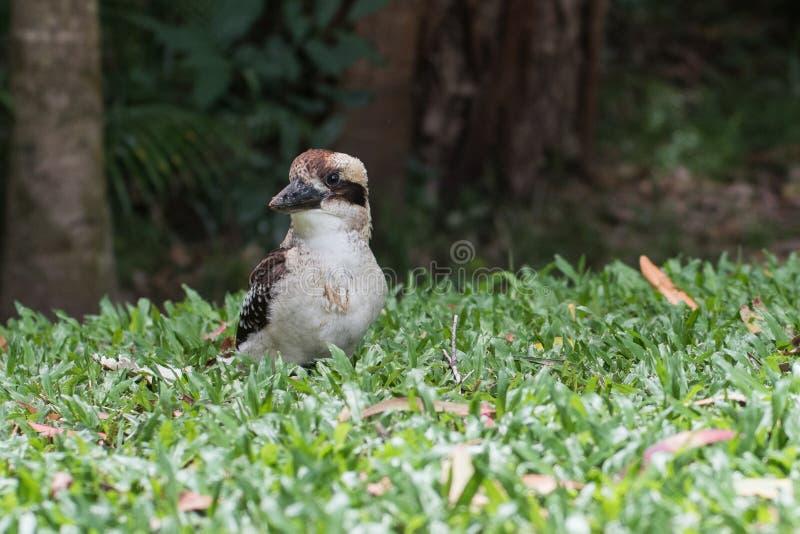 Skrattfågelfågel på gräs arkivbilder