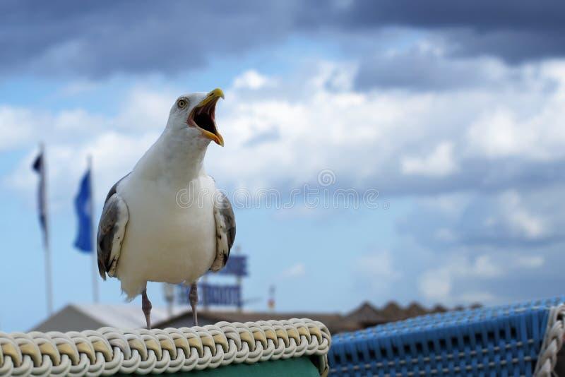 Skriande seagullLarusfuscus på en strandkorg i en badort royaltyfria foton