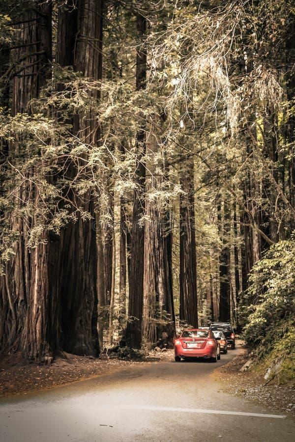 Skriva in redwoodträdskogen i Kalifornien arkivfoto