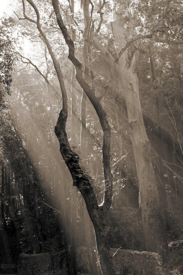 skrivande in toning för skogsepiasolljus arkivfoto