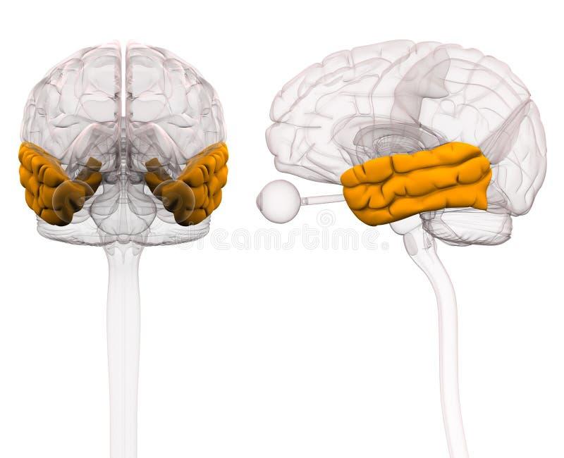Skroniowego Lobe Móżdżkowa anatomia - 3d ilustracja ilustracji
