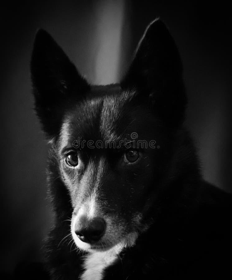Skrovlig blandning Border collie för skotsk fårhund arkivfoto