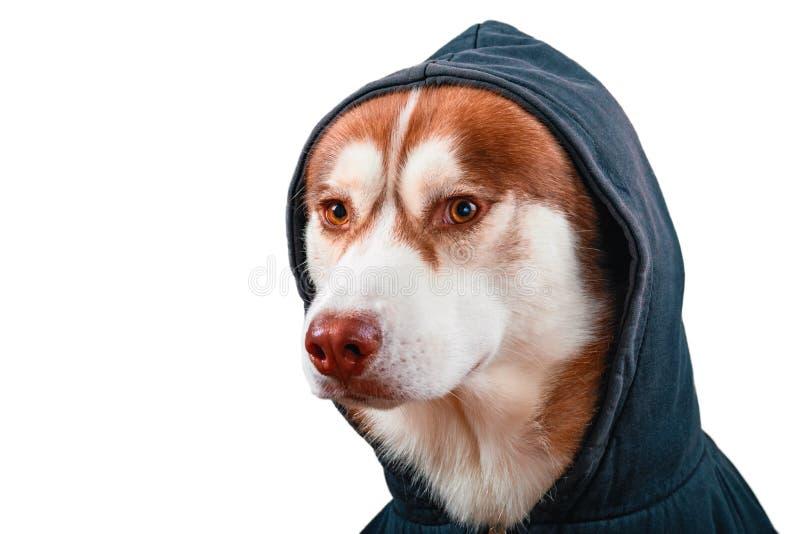 Skrovlig hund för stående i svart hoodie på isolerad vit bakgrund Rött siberian skrovligt i tröja ser kameran, sidosikt royaltyfri bild