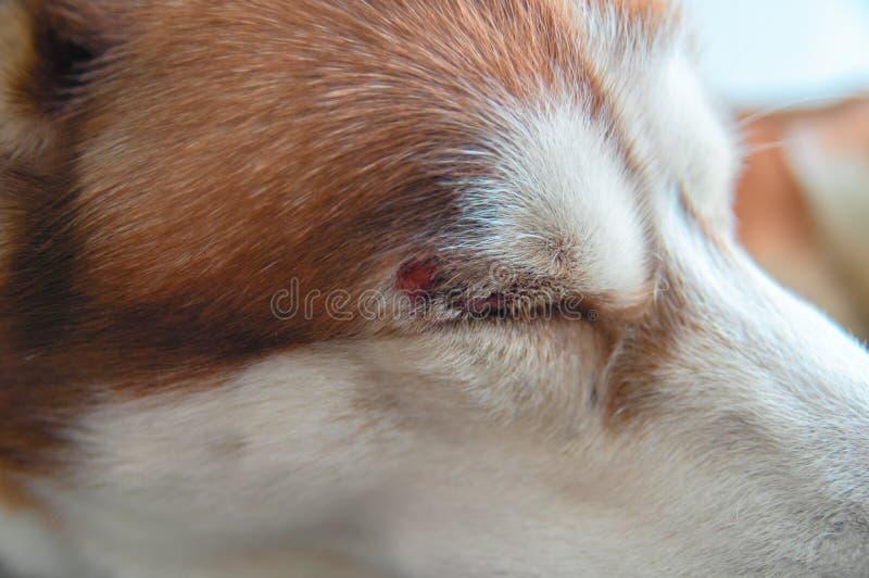 Skrovlig hund med en sår över hans öga arkivbild