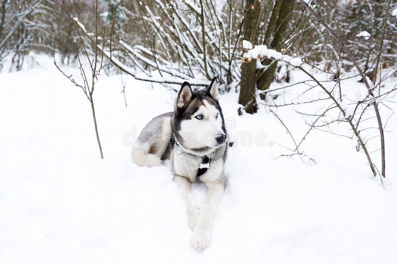 Skrovlig hund som ligger i snön royaltyfri fotografi