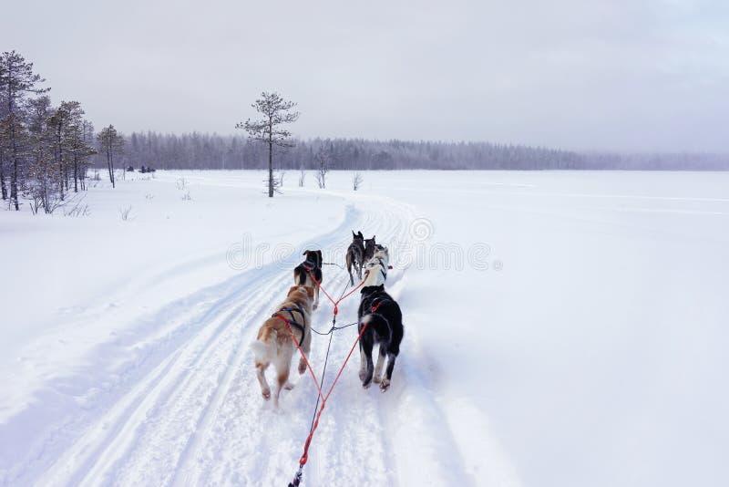 Skrovlig hundkapplöpning i deras pulkavinterskog, Lapland i Finland royaltyfria bilder