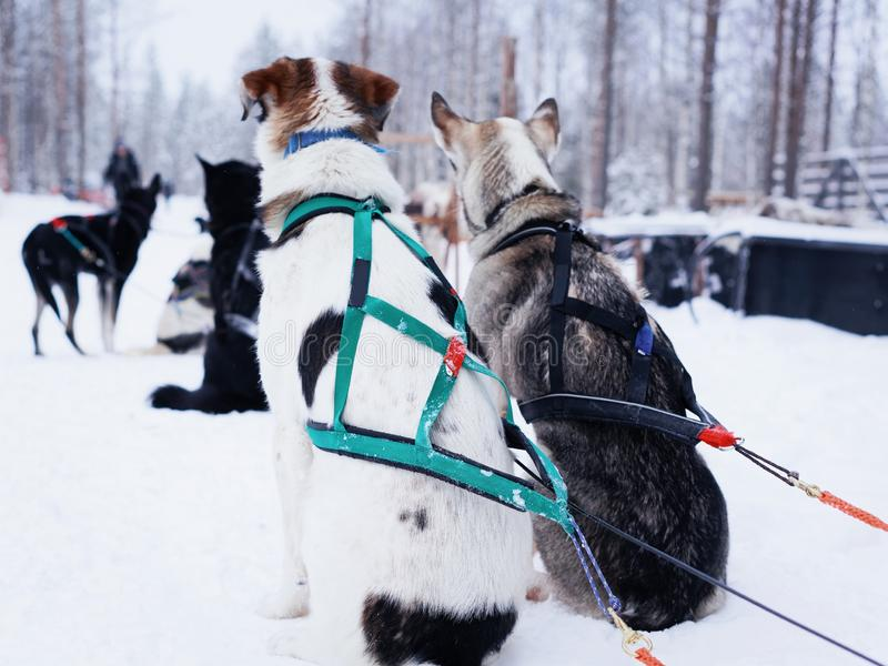 Skrovlig hundkapplöpning i pulkan som kopplar av ha ett kort avbrott för den nästa ritten på den Rovaniemi lantgården, Lapla royaltyfria bilder