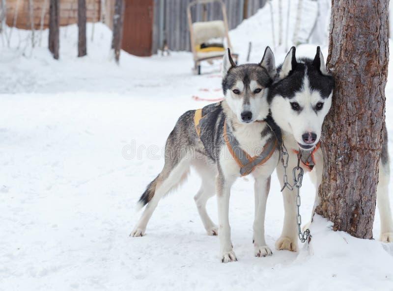 Skrovlig hundkapplöpning i vinterlandskap royaltyfri foto