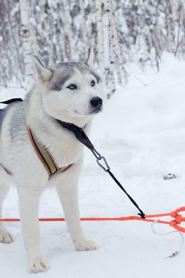 Skrovlig hundkapplöpning i vinterlandskap royaltyfri bild