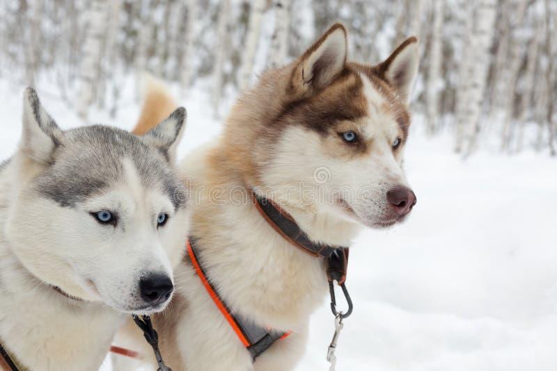 Skrovlig hundkapplöpning på vinterlandskap arkivbild