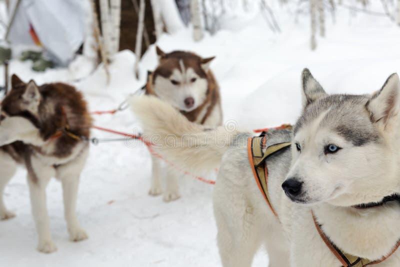 Skrovlig hundkapplöpning på vinterlandskap fotografering för bildbyråer