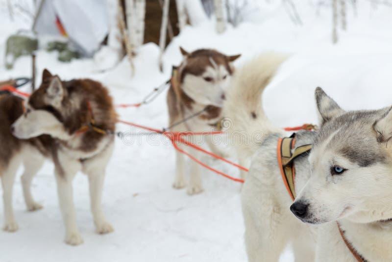 Skrovlig hundkapplöpning på vinterlandskap royaltyfri foto