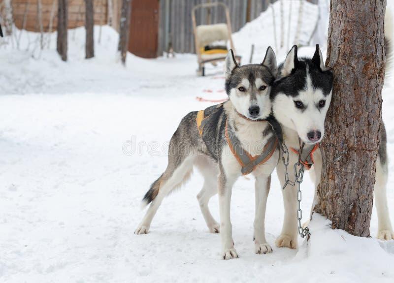 Skrovlig hundkapplöpning på vinterlandskap arkivfoton