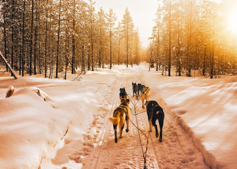 Skrovlig hundkapplöpningsläde i Finland i den Lapland vintern arkivbilder