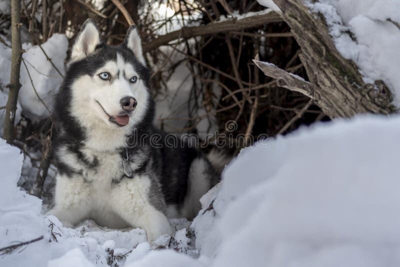 Skrovlig hundlögn på snö Siberian skrovlig hund med blåa ögon i vinterskog som lurar i lya royaltyfri bild