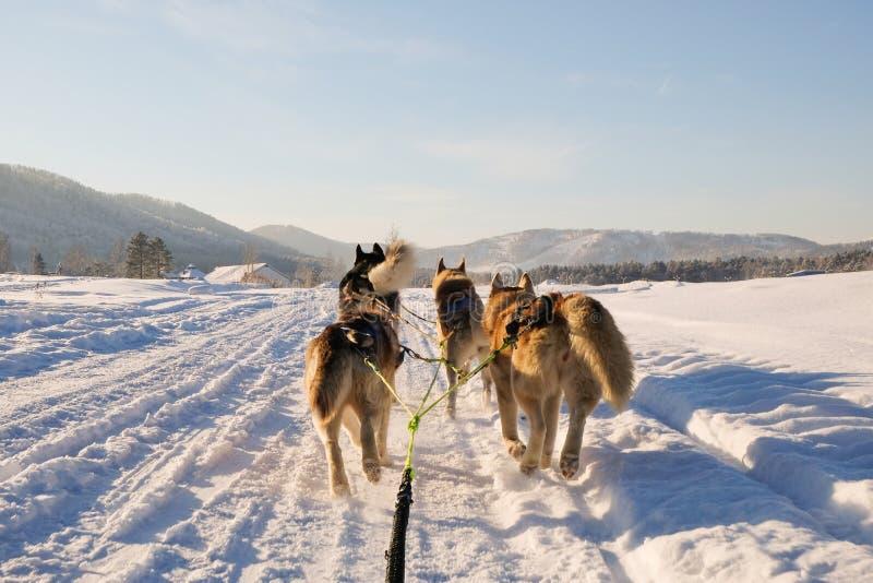 Skrovlig hundpulka Gullig skrovlig sledding hund Siberian skrovlig konkurrens för lopp för slädehund Sikt från släden royaltyfri foto