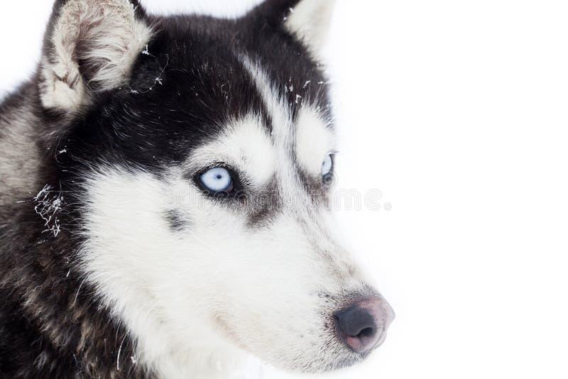 Skrovlig hundstående arkivfoto