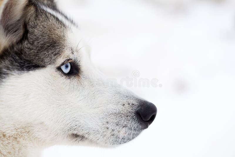 Skrovlig hundstående arkivfoton