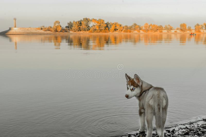 Skrovlig valp som går på flodstranden royaltyfria foton