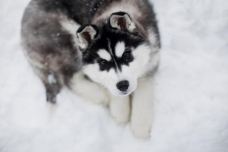 Skrovlig valp som ligger i snön se kameran arkivbilder
