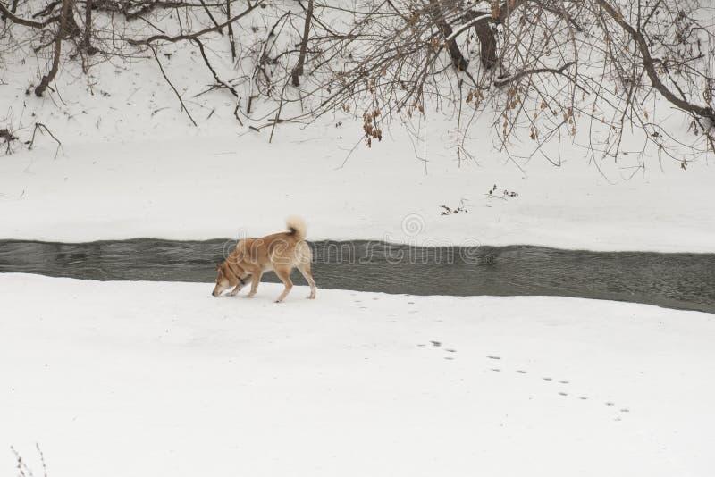 Skrovligt för Siberian för valp västra vid floden i vinter arkivbild