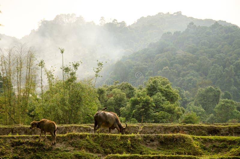 Skrubbsår för vattenbuffel på risterrasser arkivbilder