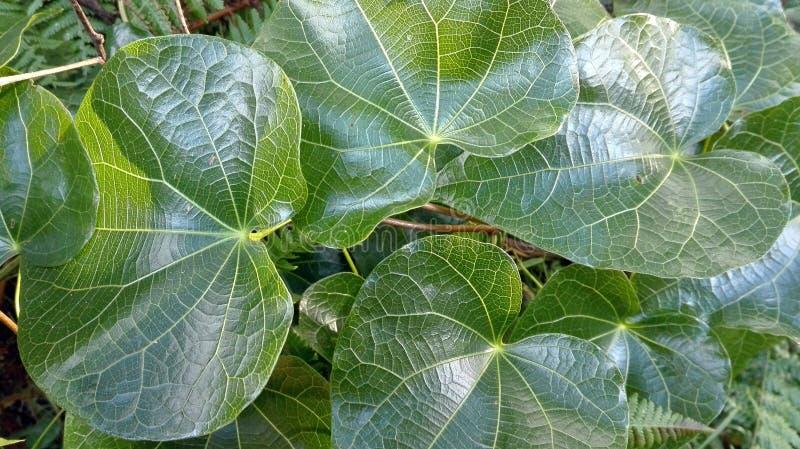 Skrynkliga frodiga gröna vinrankasidor royaltyfri fotografi