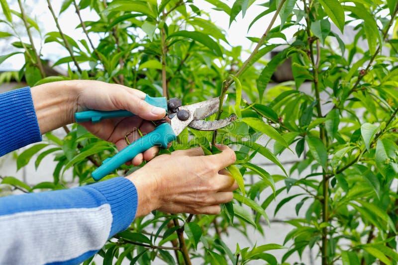 Skrz?tny ?redniorolny m??czyzna przycina drzewa w ogr?dzie outdoors obraz stock